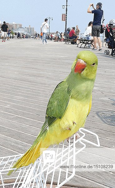 Parrot on Boardwalk