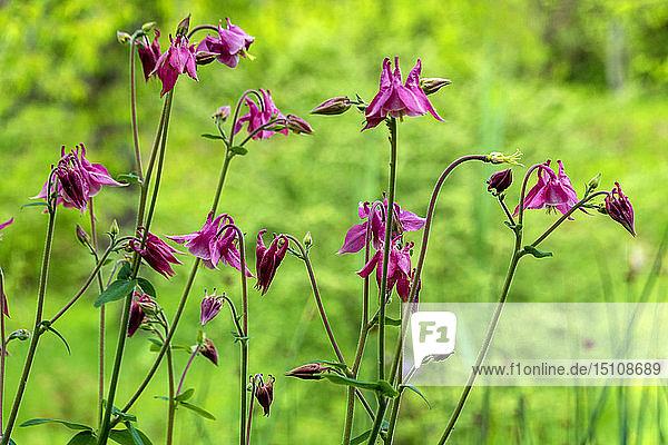 Akelei-Blüten