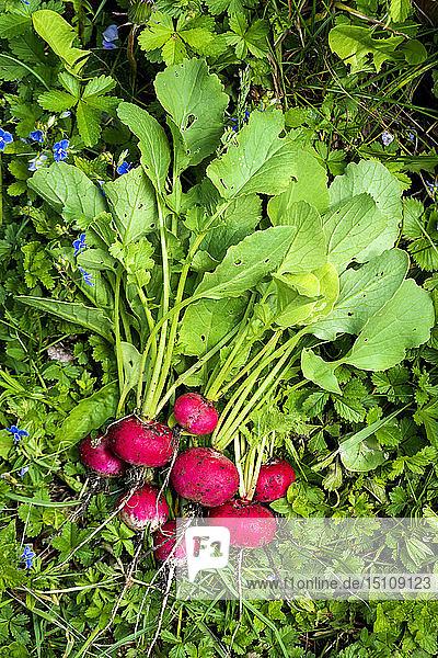 Frisch geerntete rote Radieschen aus biologischem Anbau auf einer Wiese