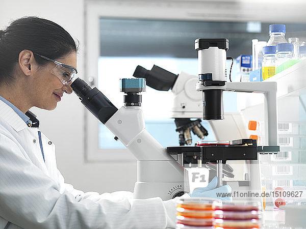 Wissenschaftlerin untersucht im Labor Kulturen  die in Petrischalen wachsen  mit einem umgekehrten Mikroskop