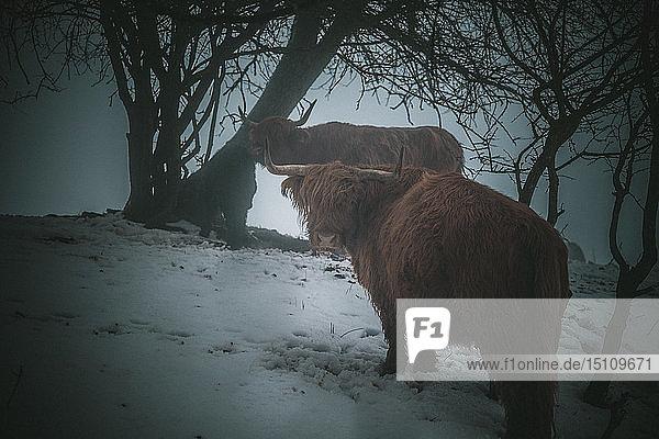 Hochlandkatzen unter Bäumen im Winter  Deutschland
