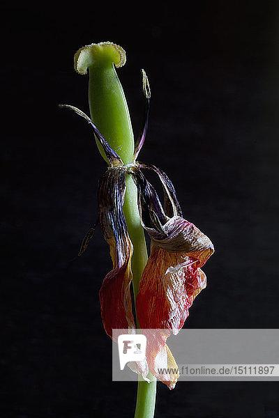 Verwelkte Tulpe vor schwarzem Hintergrund