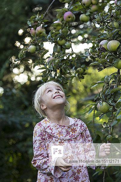 Little girl picking apple from tree