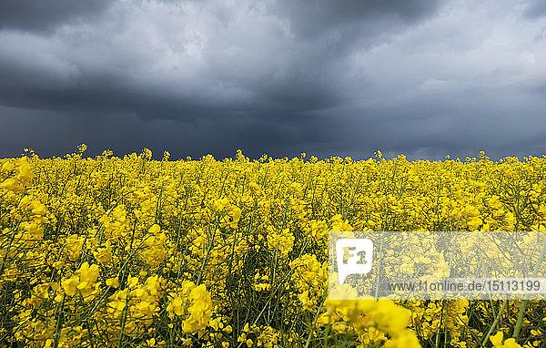Dunkle Wolken über einem Rapsfeld  Husum  Schleswig-Holstein  Deutschland