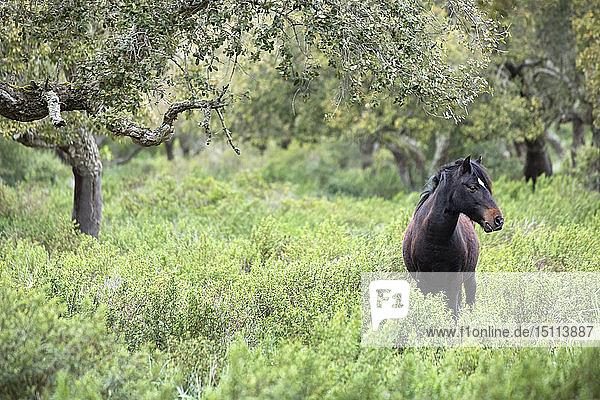 Italy,  Sardinia,  Giara di Gesturi,  wild horse