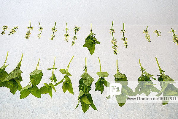 White nettle and balm  drying