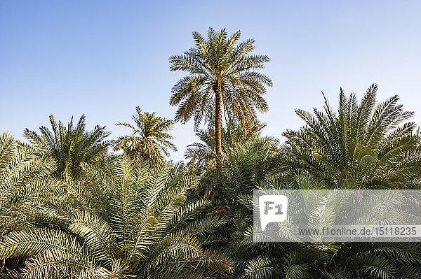 Palmenoase  Samail  Oman