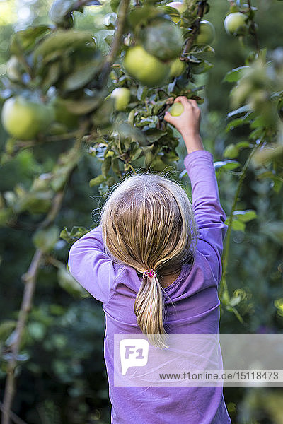 Back view of little girl picking apple from tree