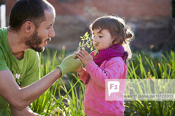 Toddler girl helping her father planting tomatoes in the garden