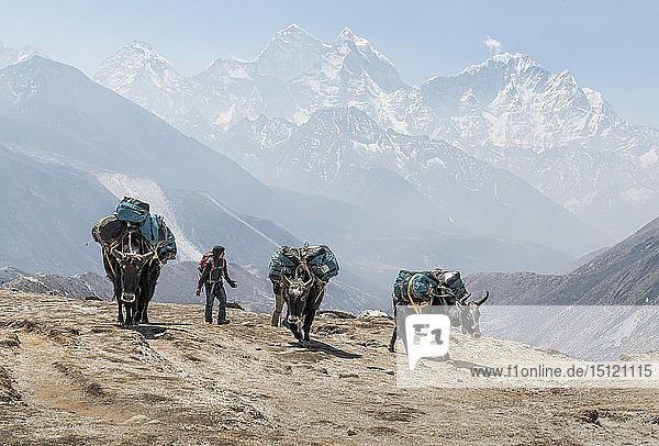 Nepal  Solo Khumbu  Everest  Dingboche  Sherpa  der Packtiere durch die Berge führt