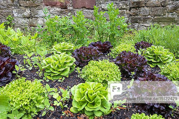 Permakulturbeet mit verschiedenen Salaten  Spinat und Petersilie
