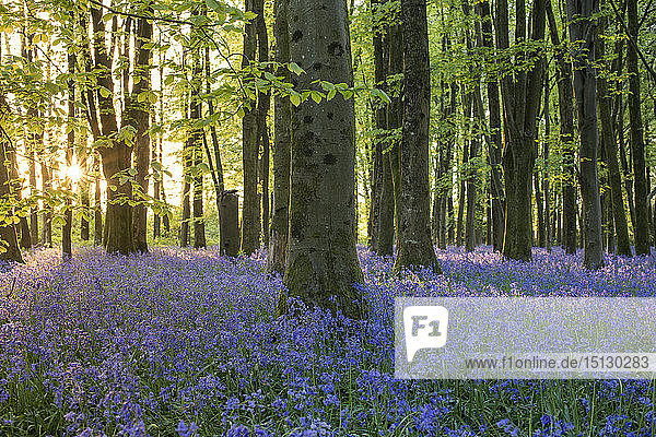 Bluebells cover a woodland floor during Spring in a small forest and catch the last rays of sun  Dorset  England  United Kingdom  Europe