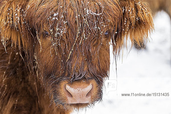 Highland cow under the snow  Valtellina  Lombardy  Italy  Europe