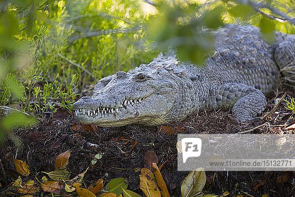 Morelet Crocodile (Crocodylus Moreletii)  Rio Lagartos Biosphere Reserve  Rio Lagartos  Yucatan  Mexico  North America