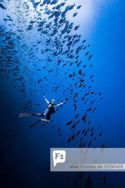 Taucher beim Schwimmen mit Fischschwarm  Revillagigedo-Inseln  Socorro  Baja California  Mexiko