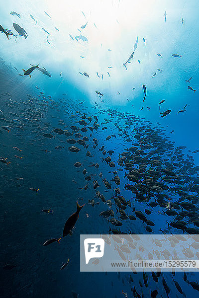 Fischschwarm  Revillagigedo-Inseln  Socorro  Baja California  Mexiko