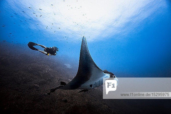 Giant Oceanic Pacific manta ray glides by male diver  Revillagigedo Islands  Socorro  Baja California  Mexico