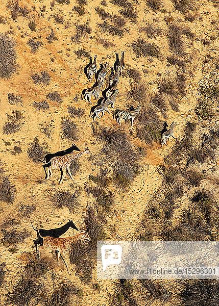 Giraffen und Zebras rennen durch die trockene Landschaft  Luftaufnahme  Kapstadt  Westkap  Südafrika