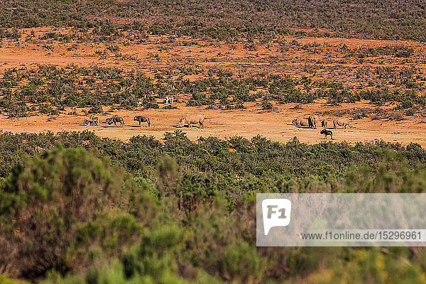 Wildlife grazing in nature reserve  Cape Town  Western Cape  South Africa
