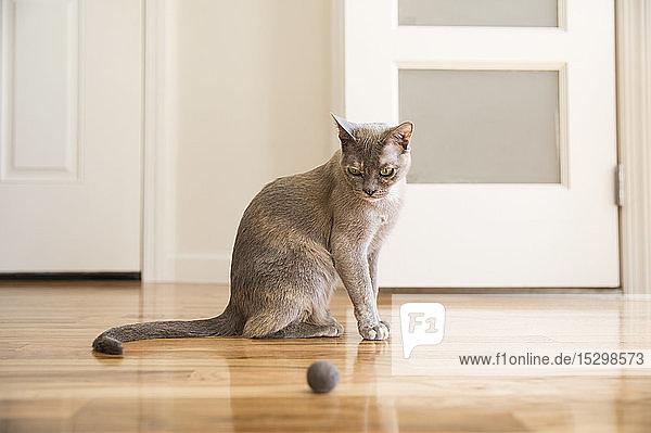 Tonkinesische Katze spielt mit Filzball
