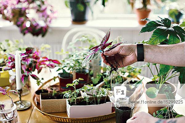 Abgehackte Hand eines männlichen Umweltschützlers hält Setzling am Tisch im Raum Abgehackte Hand eines männlichen Umweltschützlers hält Setzling am Tisch im Raum