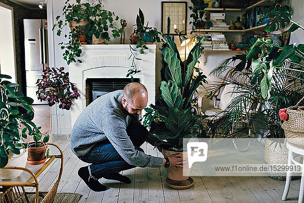 Man positioning potted plant on hardwood floor in room at home