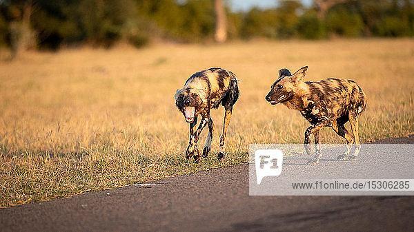 Zwei wilde Hunde  Lycaon pictus  gehen zusammen  aus dem Rahmen schauend  Mund offen  trockener gelber Grashintergrund.