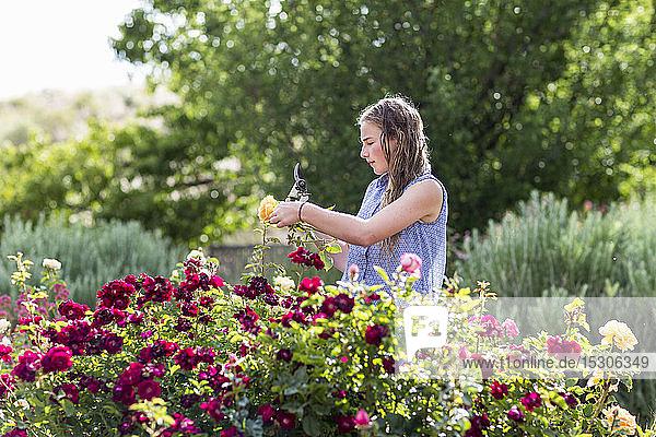 Ein junges Mädchen arrangiert Rosen aus einem offiziellen Garten