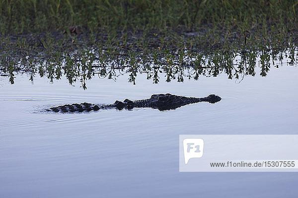 Salzwasserkrokodil schwimmt in einem ruhigen Sumpfgebiet  Kakadu National Park  Australien