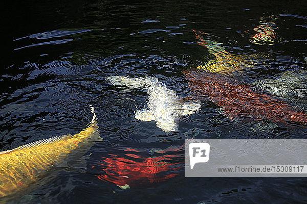 Kois in einem Teich