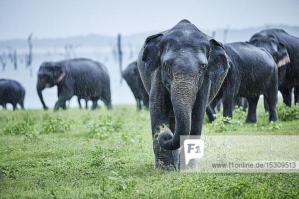 Asiatischer Elefant grast gegen Herde im Kaudulla-Nationalpark