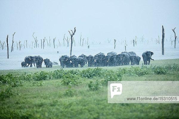 Asiatische Elefantenfamilie im Kaudulla-Nationalpark vor klarem Himmel