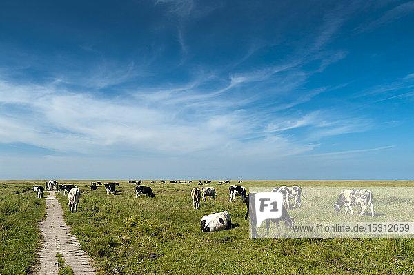Deutschland  Schleswig-Holstein  Sankt Peter-Ording  Blick vom Deich auf die Salzwiese mit einer Kuhherde