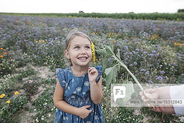 Vater kitzelt seine Tochter mit einer Sonnenblume auf einem Feld
