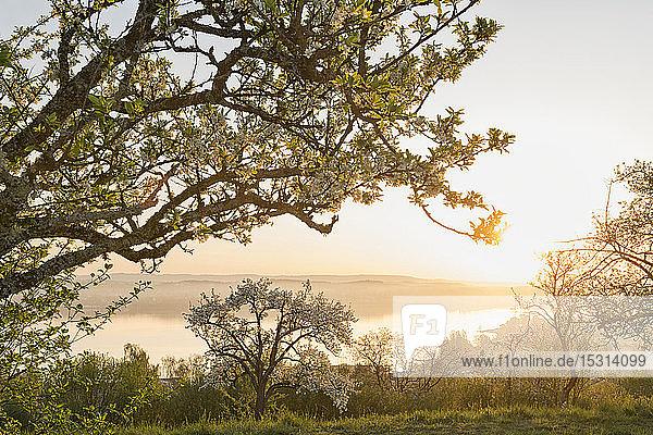 Deutschland  Baden-Württemberg  Bodensee und Bäume bei Sonnenaufgang