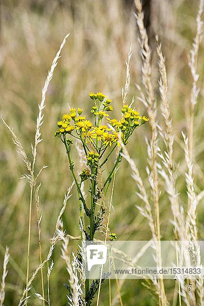 Jakobs-Kreuzkraut  Senecio jacobaea  giftige Pflanze