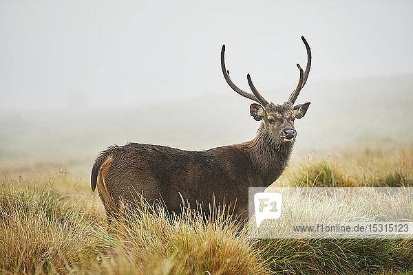 Porträt von Axis Deer  Horton Plains National Park  Nuwara Eliya  Sri Lanka