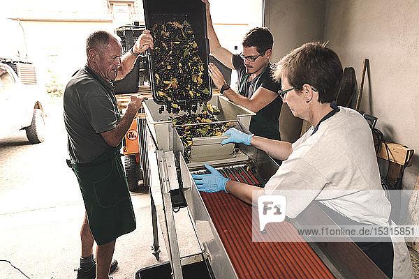 Waschen und Sortieren von Kirschen am Montageband
