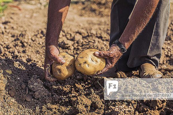 Mann erntet Kartoffeln mit einer Mistgabel auf einem Feld