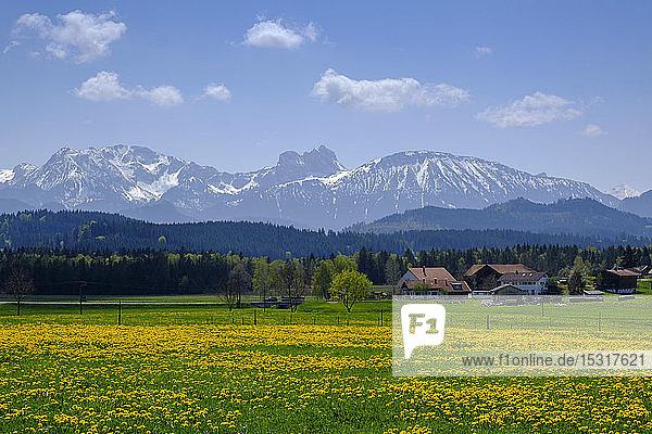 Gelbe ländliche Wiese mit DorfhÃ?usern undAlpenim Hintergrund  Seeg  Bayern  Deutschland