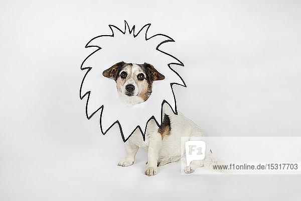 Bildnis eines Mischlings mit gezeichneter Löwenmähne vor weißem Hintergrund sitzend