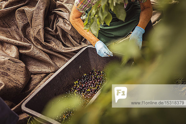 Senior woman with harvested cherries in a box