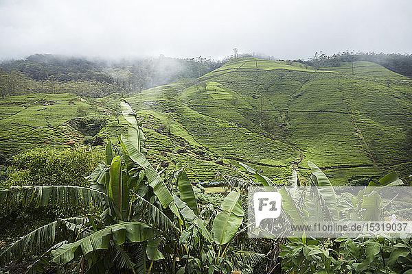 Blick auf die Teeplantage Glenloch bei Thawalanthenna  Sri Lanka