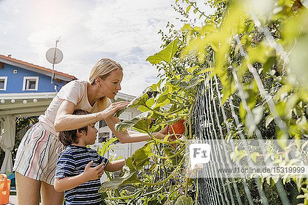 Mother and son examining pumpkin in garden