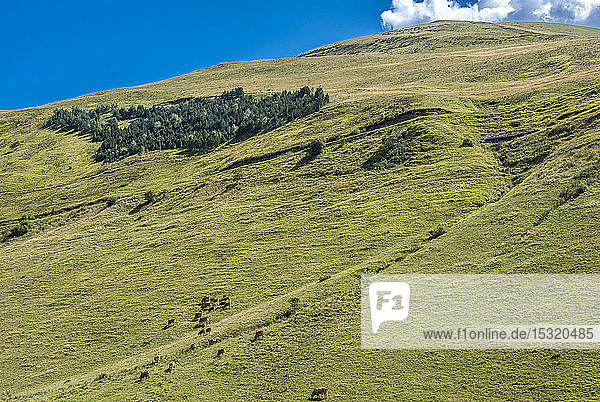 France  Hautes-Pyrenees  grasslands between the Col de Peyressourde and the Val Louron-Azet