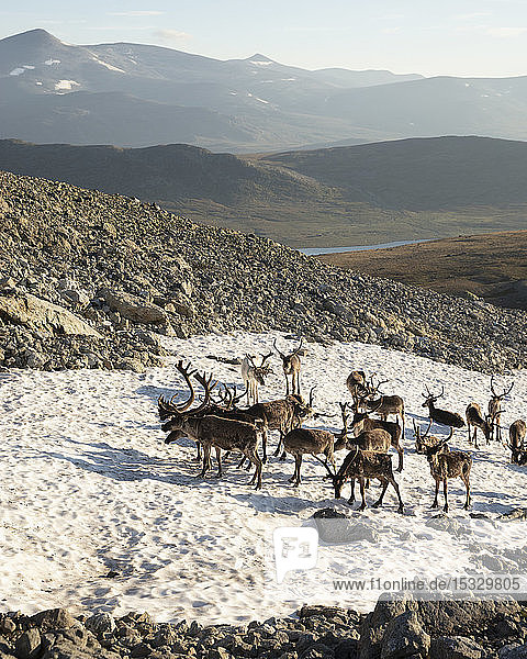 Reindeer standing on snow on Besseggen Ridge in Jotunheimen National Park  Norway