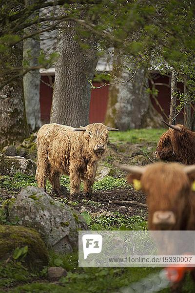 Kühe auf dem Bauernhof