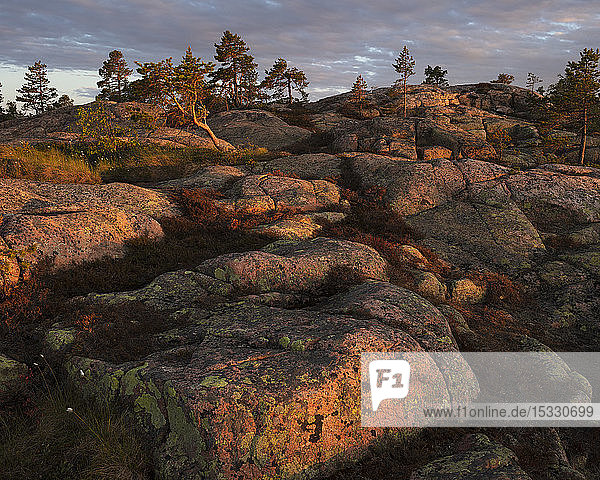 Pine trees on rocks in Skuleskogen National Park  Sweden