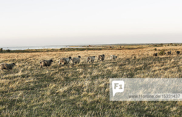 Herd of sheep walking in field