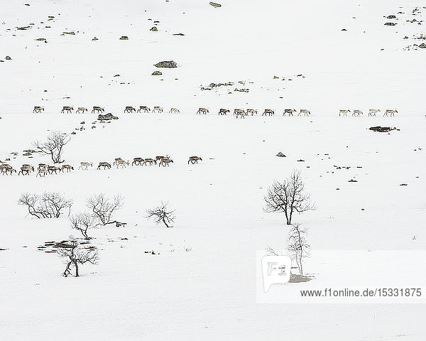 Reindeer in snowy field in Dalarna  Sweden